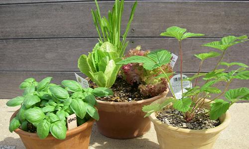 ベランダ野菜2